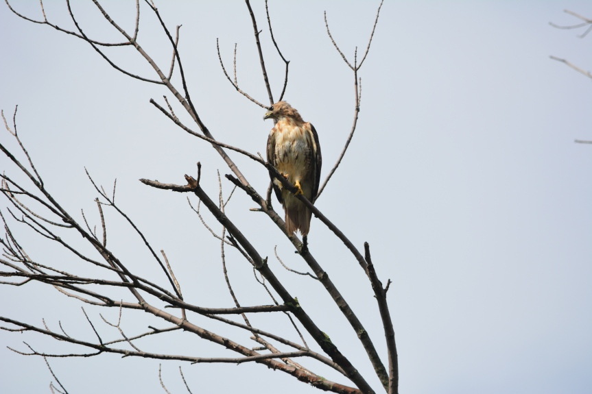 The Hawk In My Yard: Or, Why Some People Struggle To Believe